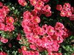 rose bush in Schenectady's Central Park Rose Garden –20June2011