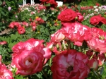 red-white roses in the Schenectady NY Central Park Rose Garden –20Jun2011