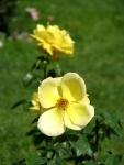 yellow rose in Schenectady's Central Park Rose Garden –20Jun2011