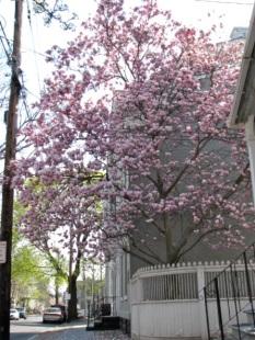 magnolias09-26fronttree