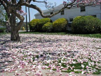 magnoliasScotiaFallen