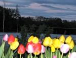 tulipsunsetEast07May09