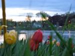tulipsunsetScotia07May09