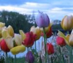 tuliptower07May09