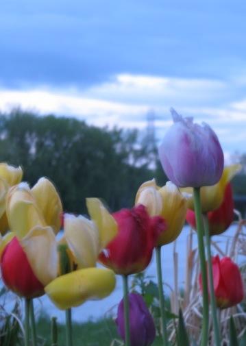 tuliptowerV07May09