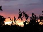daylily sunset cameo12July09
