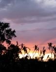 daylily sunset cameo2