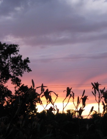 daylily sunset cameo 2