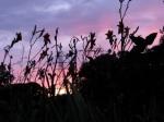 daylily sunset with powertowers