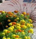 marigolds along the path leading to the Central Park RoseGarden 03Aug09