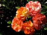 Orange Burst - Central Park Rose Garden, Schenectady 03Aug09