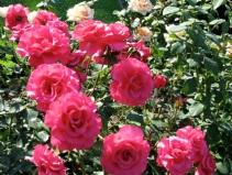 RoseGarden 3Aug09 - sunny pink roses