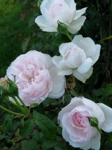 RoseGarden 03Aug09 touch of pink white roses