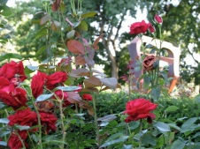 red roses near the Yuan sculpture in Schenectady Rose Garden 03Aug09