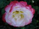 Rose Garden 2009 – rose near the Yuansculpture