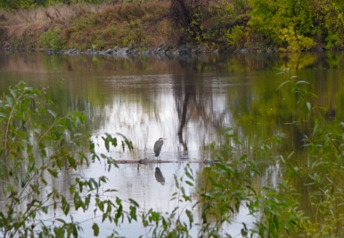 Blue Heron on a branch in the Mohawk River floats past 1 Cucumber Alley, Schenectady Stockade - 24Oct09