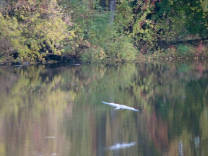 Blue Heron takes off from its branch after floating past Isle of the Cayugas - 24Oct09