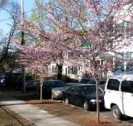 """cherry trees in front of """"12"""" Washington Ave., Schenectady -April 2009"""