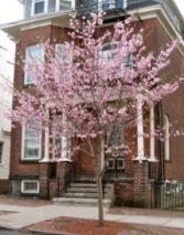 cherry tree in front of 16 Washington Ae., Schenectady - April 2009