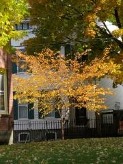 cherry tree near 10 Washington Ave., Schenectady, NY - 25Oct09