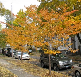 "cherry trees in front of ""12"" Washington Ave., Schenectady - 26Oct09"