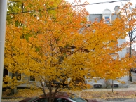 cherry tree seen from the front porch of 16 Washington Ave, Schenectady Stockade - 25Oct09