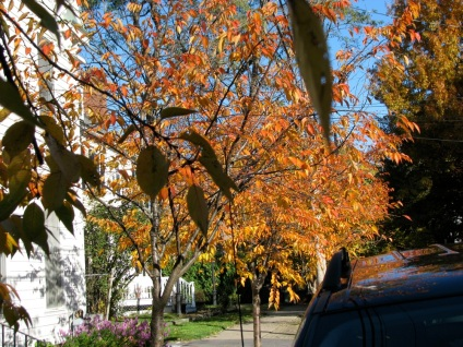 cherry trees in front of the Mary Hill House, Schenecady Stockade - 26Oct09