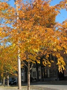 cherry tree in front of Schenectady County Historical Society - 26Oct09