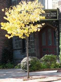 glowing yellow leaves in front of Schenectady Civic Players, So. Church St. - 20Octo09