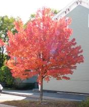tree next to 5 So. Church St, Schenectady, Oct. 20, 2009