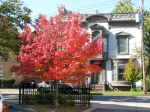 red-leafed tree at So. Church St. in parking lot of Knights of Columbus –20Oct09