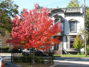 red-leafed tree at So. Church St. in parking lot of Knights of Columbus - 20Oct09