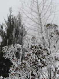 icy plants on a foggy Christmas afternoon at Miner's Farm in Duanesburg NY - 25Dec09