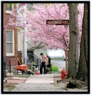 a scene near Cucumber Alley with cherry blossoms on Washington Ave. in the Schenectady NY Stockade - 27Apr2011