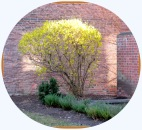 YWCAforsythia22Mar2012