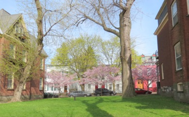 a row of cherry trees in the yard between 10 and 16 Washingotn Ave. - Schenectady NY Stockade -- 28Apr2013