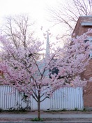 cherry blossoms in bloom near 5 N. Ferry St. with the 1st Reform Church Steeple in the background - - Schenectady NY Stockade -- 28Apr2013