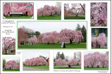 weeping cherry blossom trees under gray clouds at Congregation Gates of Heaven - Niskayuna NY - 29Apr2013