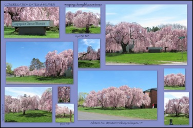 weeping cherry blossom trees under blue skies at Congregation Gates of Heaven - Niskayuna NY - 30Apr2013