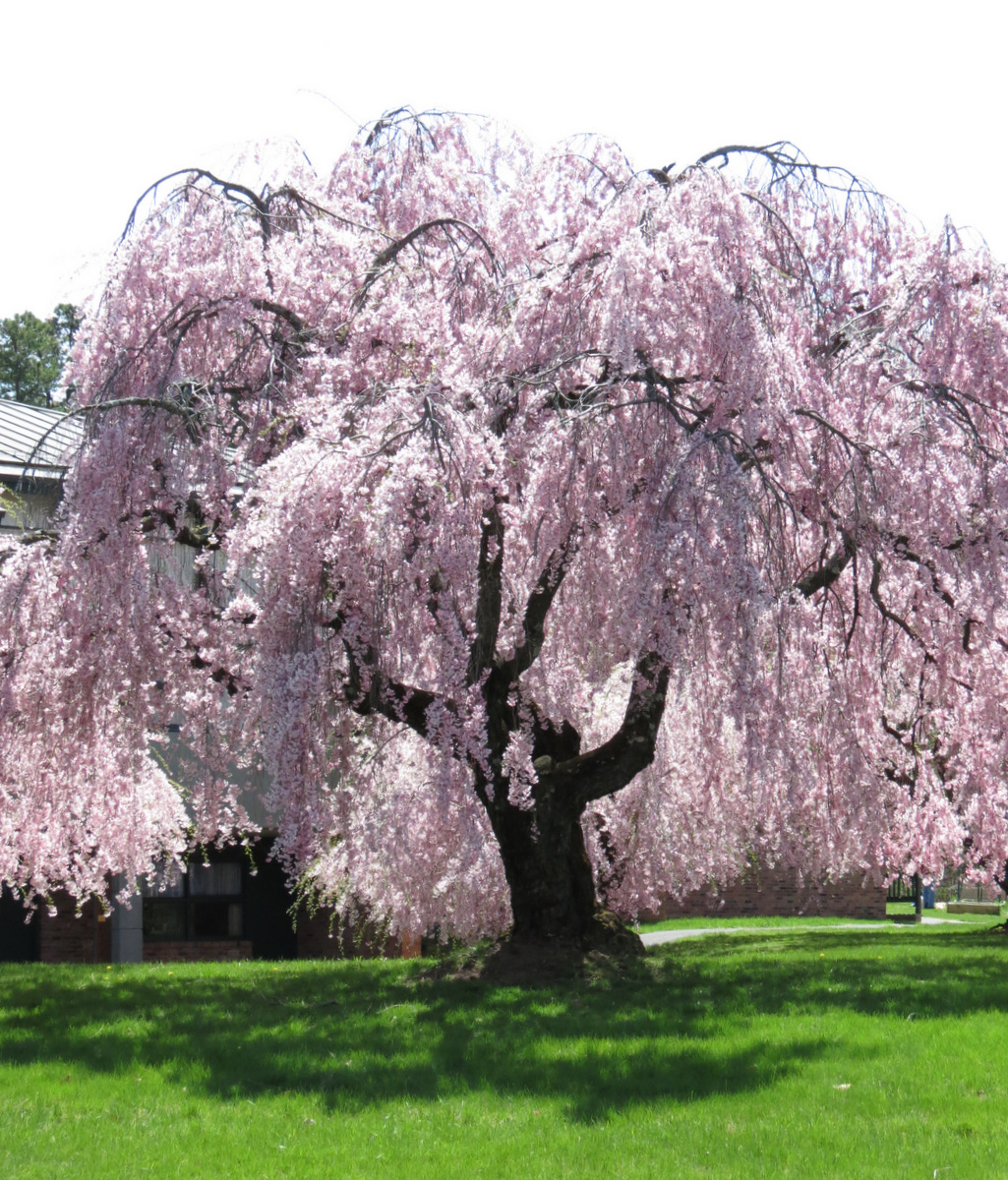 cherry tree weeping blossoming nearby suns along the mohawk