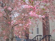 cherry blosoms on Washington Avenue in the Schenectady NY Stockade district - taken 23Apr2013 by Yu Chang