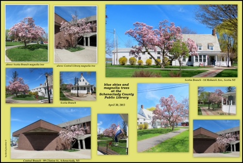 collage of photos of blooming magnolia trees at the Central Library and Scotia Branch of SCPL - Schenectady County NY - 30Apr3013