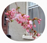 cherry blossoms on a tree in front of 27 Washington Ave. in the Schenectady NY Stockade - take by Yu Chang on 23Apr2013