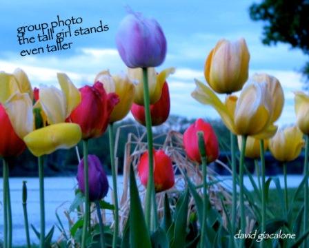 riverbank-tulipsTaller