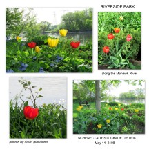 tulipsRiversidePark14May