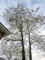 magnolia tree at SCHS