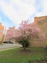 YWCA magnolia tree