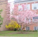magnolias and forsythia at YWCA