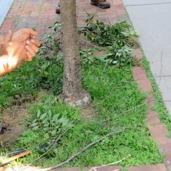 graft root of cherry tree